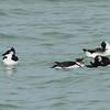 2013- razorbills- Anna Maria Island- Jan