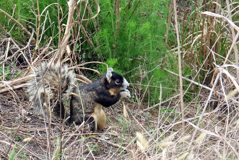 2015_ fox squirrel_ Starkey Wellfield_ Florida
