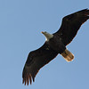 2016_bald eagle_ Circle B Bar Preserve_FL_ Oct_IMG_7286
