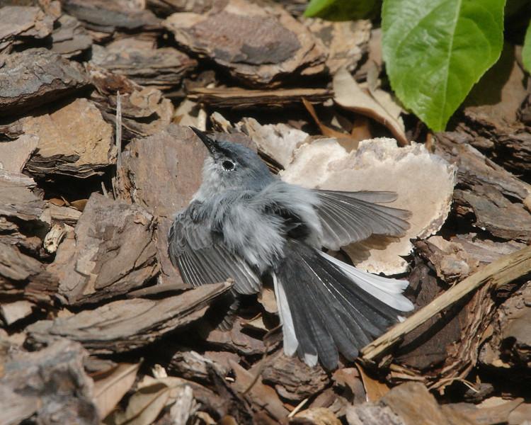 2013- blue-grey gnatcatcher sunning- Parrish backyard- summer