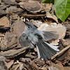 2013- blue-grey gnatcatcher sunning- Parrish backyard- summer