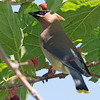 2016_cedar waxwing_ Ft Desoto April_IMG_3102