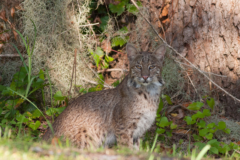 2014_Backyard bobcat 10-23-14