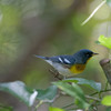 2014_northern parula_ Ft Desoto_ April 2014