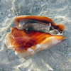 2015_Florida_fighting_conch_Sanibel_March 2015