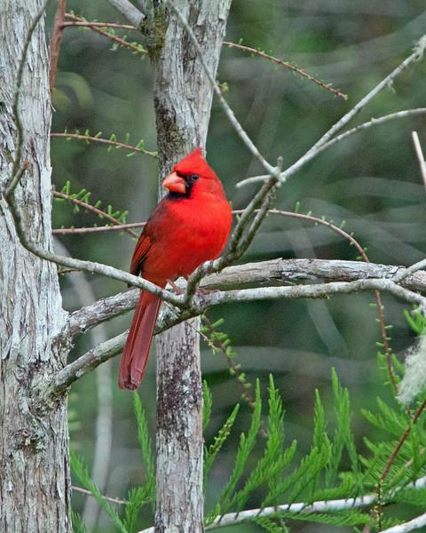 2016_ cardinal_ Corkscrew Swamp_ April_IMG_5110