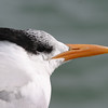 2013- royal tern- Anna Maria Island- Jan