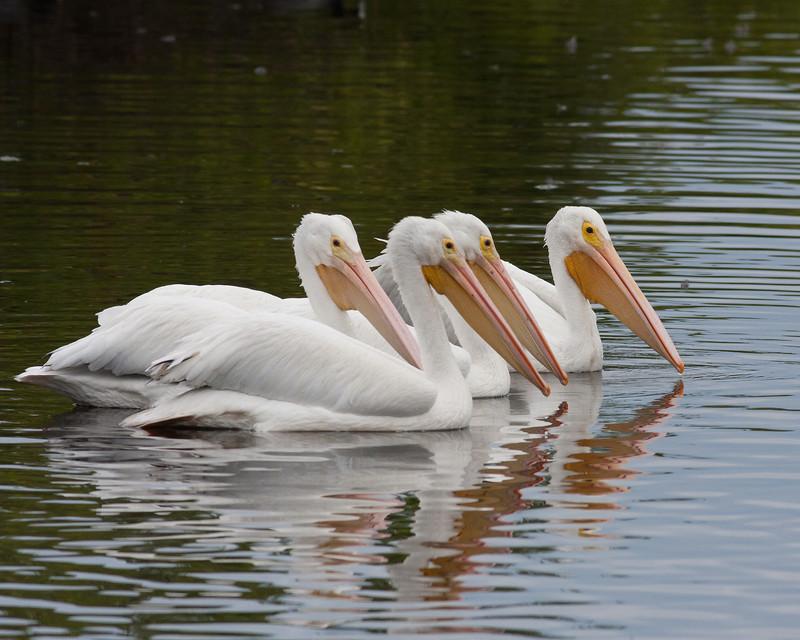 2014_white pelicans_MINWR_ dec 2014