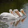 2014_white pelicans_MINWR_ dec 2014