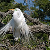 2013- Great egret_St Augustine_March 2013