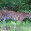 2013- BackyardBobcat- Parrish- July 2013