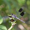 2016_band-winged dragonlet_Ft Desoto_ Oct_IMG_6522