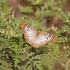 2015_white peacock butterfly_Bailey Track_Sanibel_March 2015