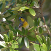2013- northern parula- Ft Desoto- April