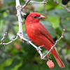 2014_summer tanager_ Ft Desoto- April 2014