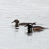 2014_hooded mergansers_Dec 2014_MINWR