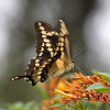 2013- giant swallowtail- Parrish backyard- summer
