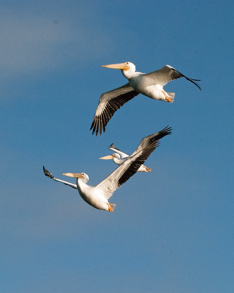 2014_white pelicans- Sanibel Feb 2014