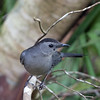 2016_catbird_ Corkscrew Swamp_ April_IMG_4975