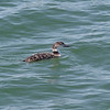2013- common loon- Skyway Pier- Jan