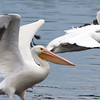 2014_white pelicans3_MINWR_ dec 2014