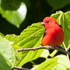 2014_Scarlet tanager FDSP 0420214