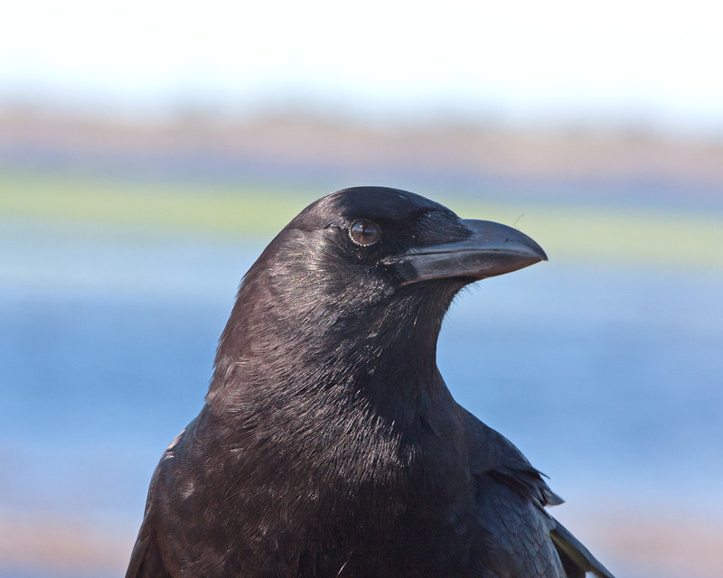 2015_ American crow_Myakka River ST_IMG_4388