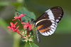 Heliconius, Butterfly World, FL, 2005