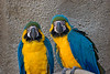 Blue-and yellow Macaws, Parrot Jungle, FL, 2005