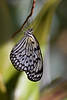 Tree Nymph, Butterfly World, FL, 2005