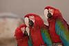 Macaw Trio, Parrot Jungle, FL, 2005
