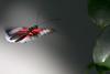 In Flight, Butterfly World, FL, 2009