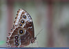 Blue Morpho, Butterfly World, FL, 2009