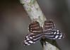 Blue Wave, Butterfly World, FL, 2009