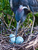 Tricolored Heron, Gatorland, FL, 2010