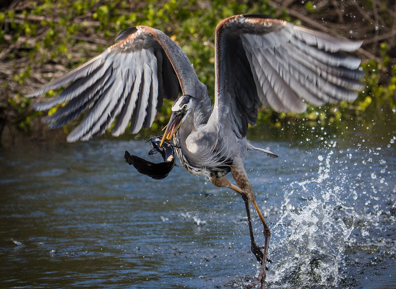 Great Blue Heron Snags a Fish