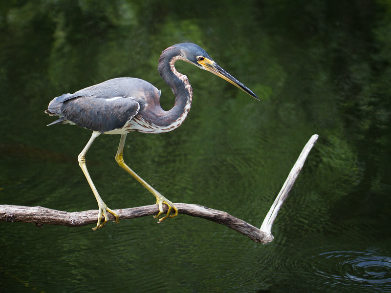 Blue Heron on Hunt