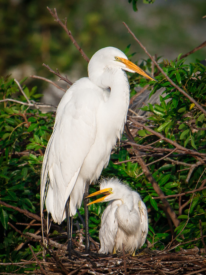 Great White Egret and Chick