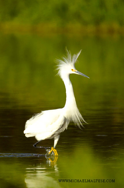 Snowy Egret Showing Off, Everglades National Park.