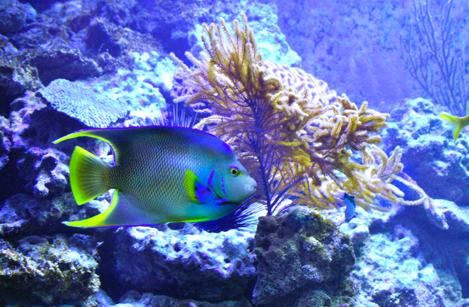 Angel fish and Coral, Florida Keys, Florida.