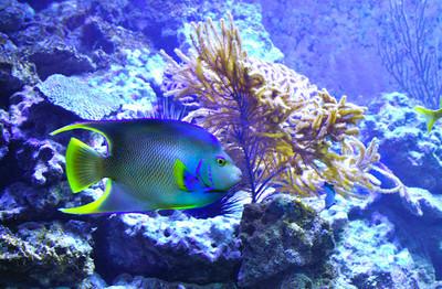 Angel fish and Coral, Florida Keys, Florida.