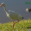 White Ibis is watched by alligator