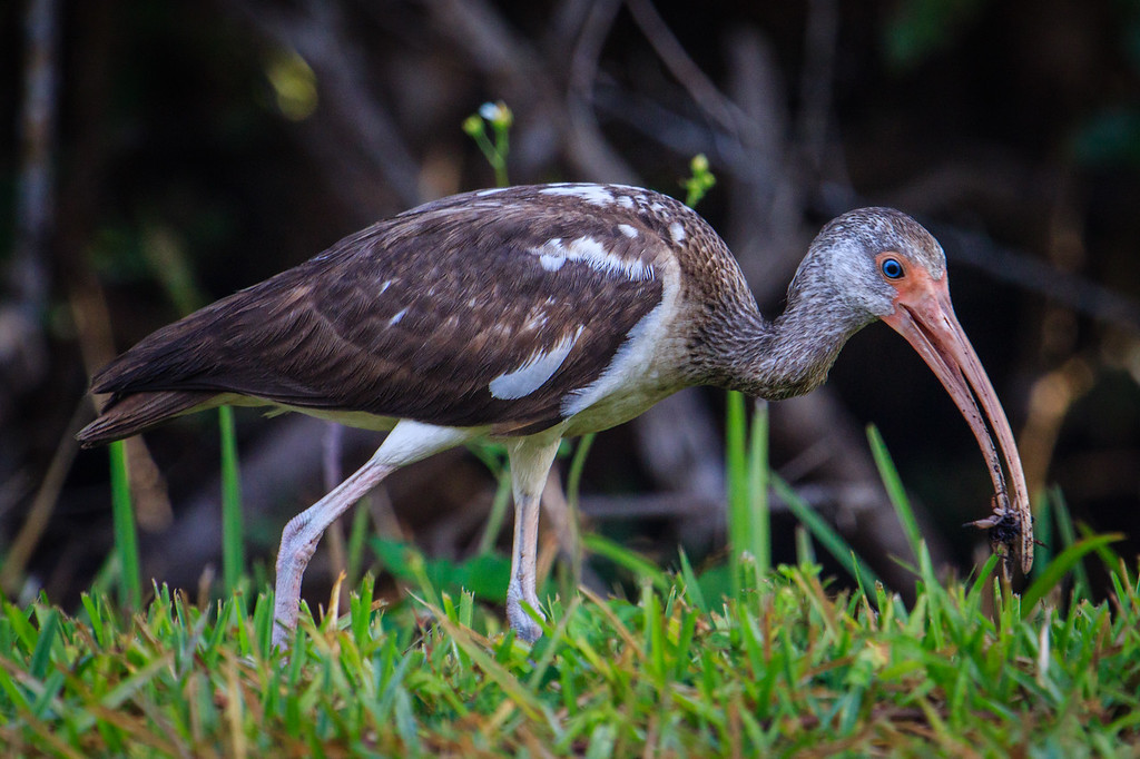 Brown Ibis Finds Tasty Morsel