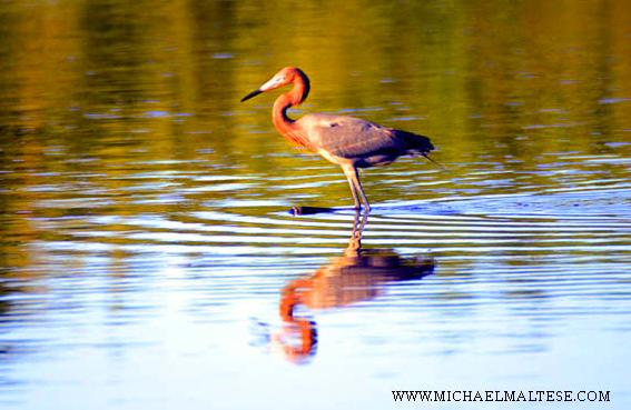 Red Egret wades thru  pond in the Everglades National Park.