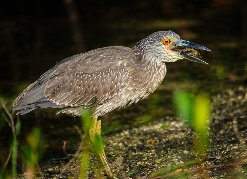 Heron Eating Crab