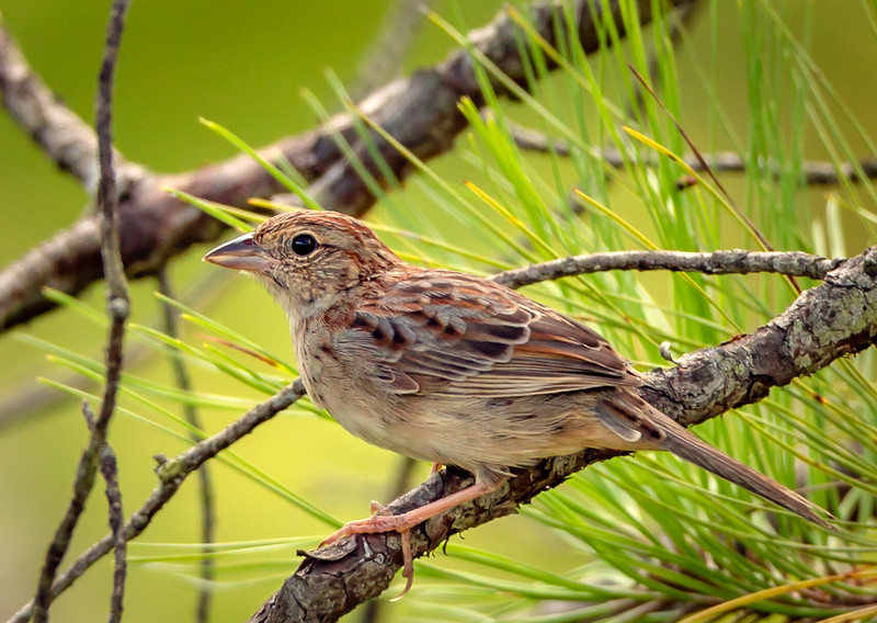 Bachman's sparrow in Rock Springs Run State Reserve.