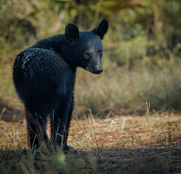 """We think this yearling is the offspring of a bear our dear friend Linda named """"Cash Bear"""".  If that is the case, we think we'll call him """"Small Change"""". We thought about """"Boo"""" bear because he snuck up behind my wife who had paused for a hot cocoa break and startled her just a wee bit."""
