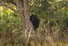 On 11/27/09, I spotted this Mama Bear and two of her cubs about 3 miles from where I saw the bear on Thanksgiving Day.  <br /> After watching them for quite some time, the Mama Bear came down on her own accord and led her cubs off through a field behind the trees.  They can be quite the characters and a lot of fun to watch.