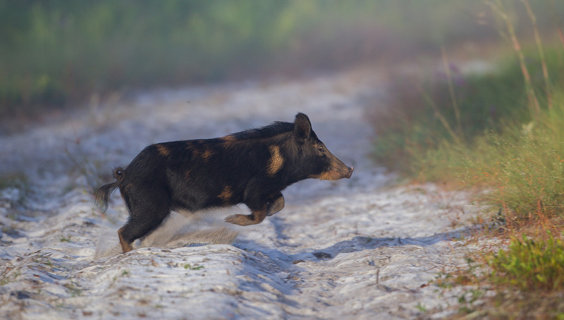 "Hiking on the sand with wild boars right in front of you, can be a bit unnerving.  But it's not ""boaring!"""