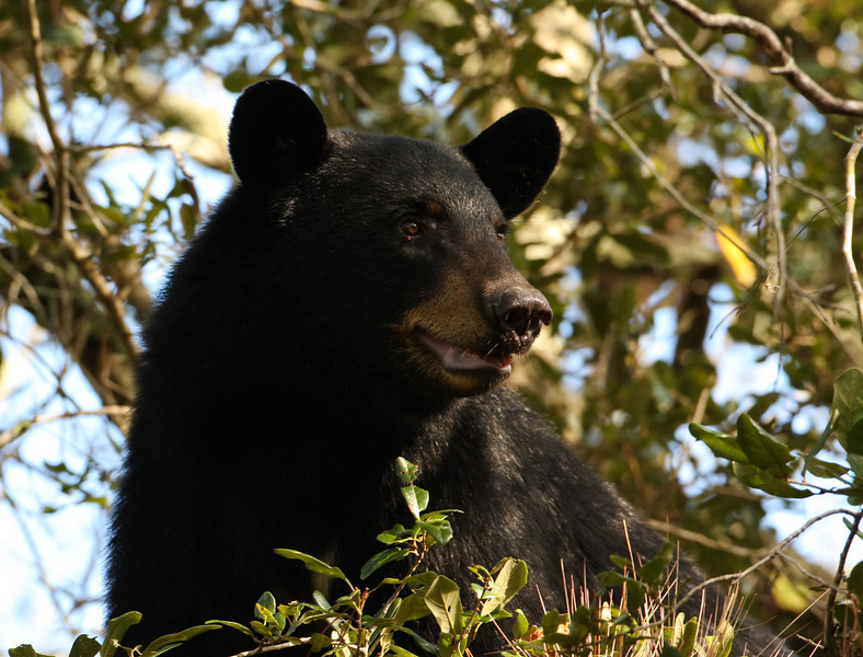 Thanksgiving Day 2009 Florida Black Bear
